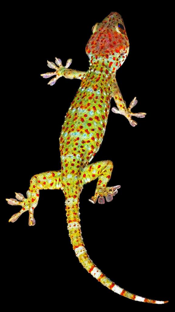 gecko transparent